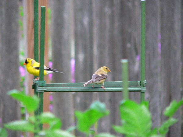 2 American Goldfinch